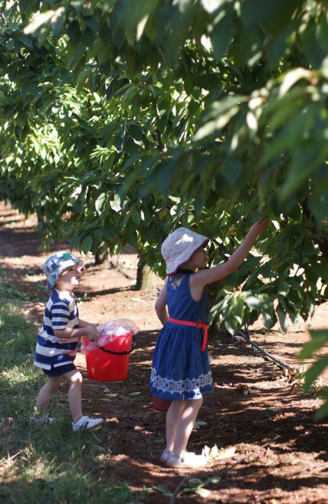 Get ready for the taste of summer!  Sweet, ripe cherries will be ready to pick at CherryHill Orchards in the Yarra Valley from Sat 19 November.