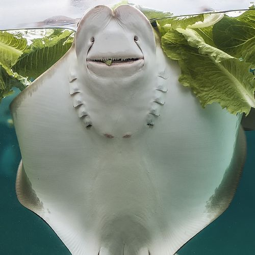 Smile Creepy Viral: 110 Best Images About Stingrays, Mantarays & Eels On