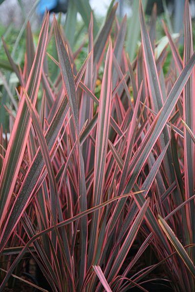 New Zealand flax, 'Sundowner'