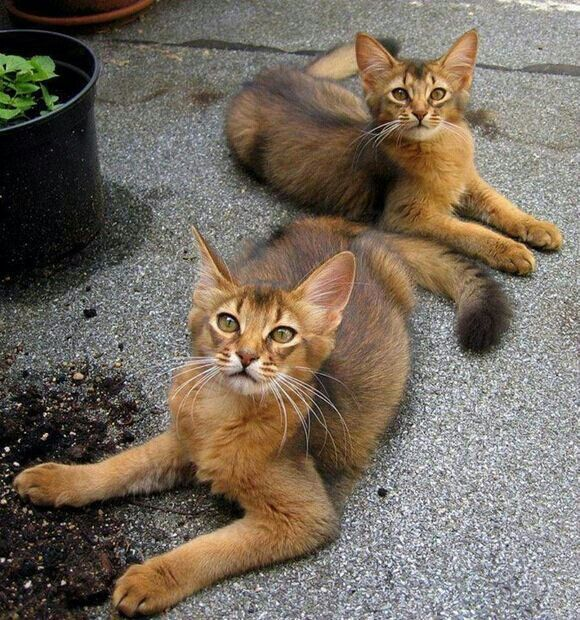 Apparently Abyssinian cats with medium length hair are called Somali cats