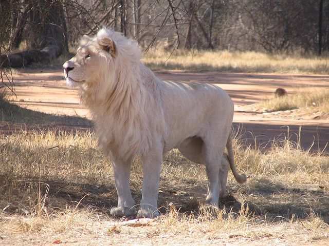 White lion male in Lion Park Johannesburg South Africa