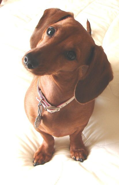 Pictures of Dachshund Dog Breed.  Belly gives me that look ever day and I just can't say no! @KaufmannsPuppy