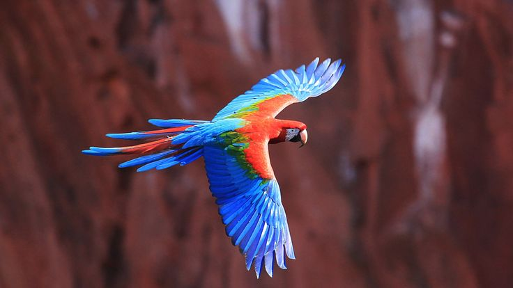 #4k wallpaper red and green macaw (3840x2160)