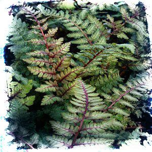 Japanese Painted Ferns are exquisite perennial plants with silvery-green fronds with wine-red veining and red stems.
