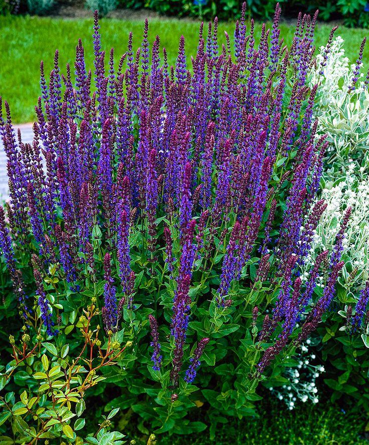 Stäppsalvia, Salvia nemorosa 'Mainacht'. Blommar juni-sept.