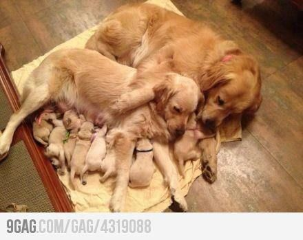 Just puppies with their mom and grandma. How precious!Puppies, Dogs, Sweets, Pets, Cutest Things, Happy Families, Animal, Golden Retriever