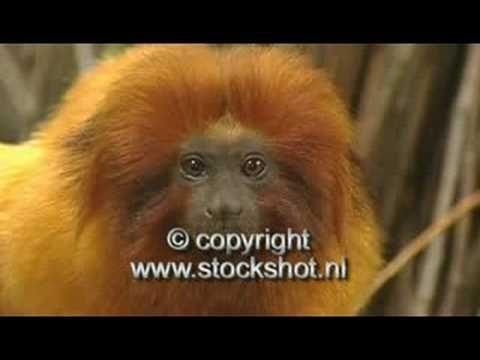 gouden-leeuwaapje - golden lion tamarin - leontopithecus ro - YouTube
