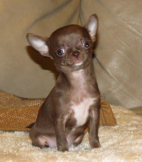 Smiley x Will - Longcoat Chihuahua puppy