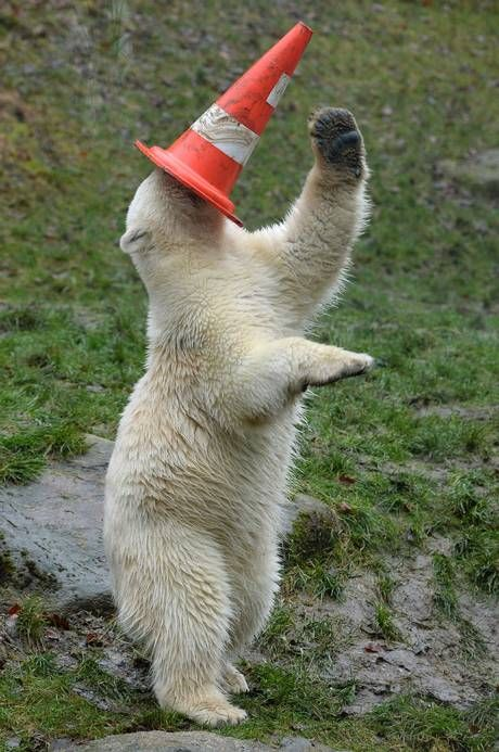 One year old polar bear Nobby plays with a traffic cone - a birthday gift - during his birthday party at the polar bears' outdoor enclosure at the Hellabrunn zoo in Munich