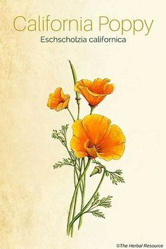 california poppy herb (Eschscholzia californica)