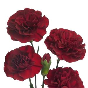 Google Image Result for http://www.fiftyflowers.com/site_files/FiftyFlowers/Image/Product/Burgundy_Mini_Carnation_300_b1e9ed3e.jpg