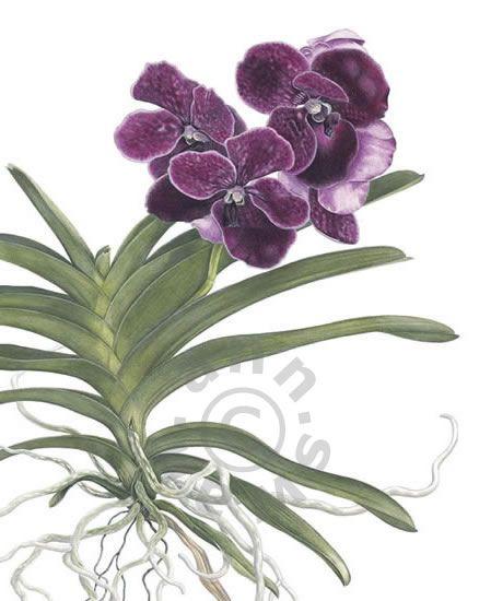ANN SWAN contemporary botanical art, coloured pencil artist ...