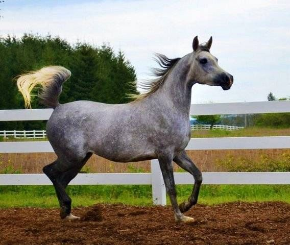 Baby Arabian Horses for Sale | World Class Arabian horses FOR SALE ADOPTION from Portland Oregon ...