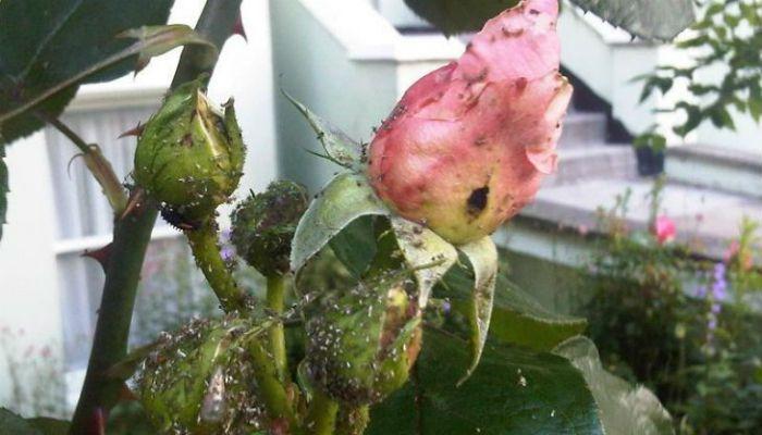 НАПОИТЕ ТЛЮ КОКА-КОЛОЙ ДО СМЕРТИ | болезни и вредители