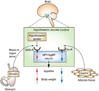 leptin and ghrelin action in hypothalamus