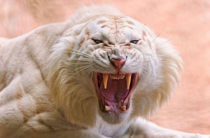 Tigre blanc albinos fond ecran tigre blanc rugissant colere enrage croc image fond couleur saumon vermillon
