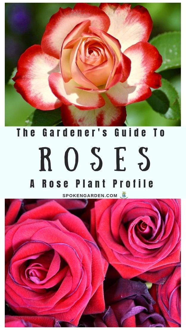 Roses A Gardener S Guide And Plant Profile Spoken Garden Planting Roses Plants Rose Garden Landscape