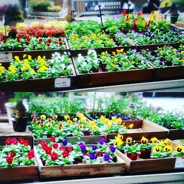 【enyaflowers】さんのInstagramをピンしています。 《おはようございます園舎です♪ ・ またまたこれからの定番ビオラ、パンジーさんが入って参りました。 ・ 定番ですが根強い人気です^^ ・ #園舎 #観葉植物 #園芸 #グリーン #多肉植物 #エアープランツ #大小 #置物 #水耕栽培 #雑貨 #苔玉 #ハイドロ #季節の花 #切り花 #苗 #鉢植え #シルクフラワー #プリザーブドフラワー #アーティシャルフラワー#花屋 #神戸 #残暑 #晴れ #お出掛け #神戸市 #コープリビング #甲南店 #食虫植物 #ドライフラワー #テラリウム》
