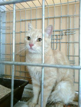 Sem nome - Adopta-me  Gato - Europeu Comum  Idade: Adulto Sexo: Macho Tamanho: Médio Pêlo: Outra Cor..