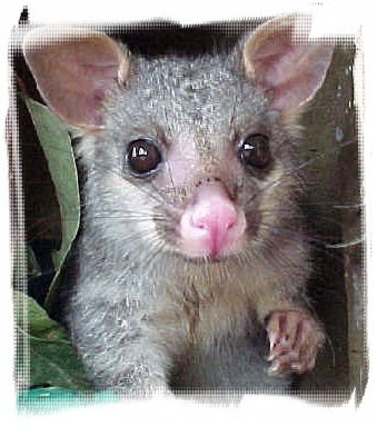 Baby Possum...this is really cute until it takes up residence under your sink!!!