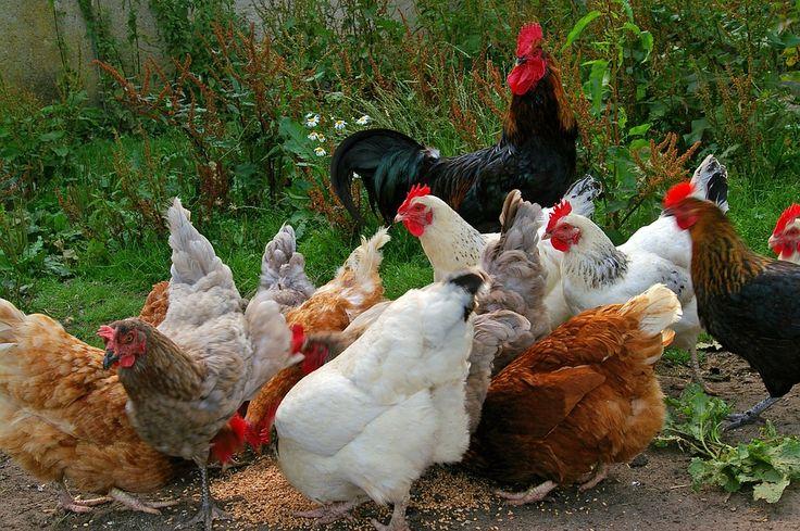 Love them!  http://dabbiesgardenideas.com/garden-chicken-coop/