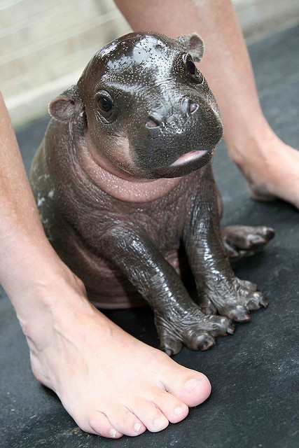 wish I had one as a pet..pygmy hippo calf.