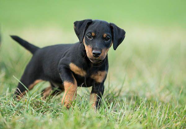 Jagdterrier, Deutscher, German Hunt Terrier, Irish Black and Tan Jack Russell Terrier, Aislinge bray terriers