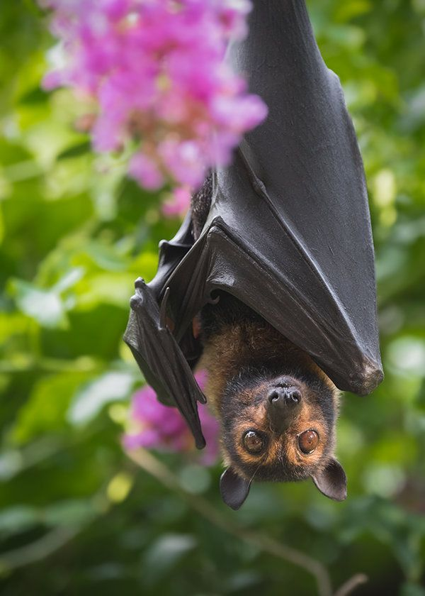 """radivs: """" Flying Fox and Crepe Myrtle by Beth Baisch """""""