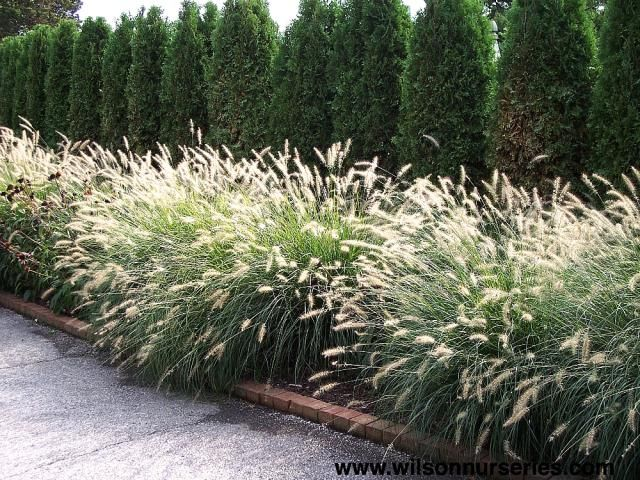 197 best images about ornamental grasses on pinterest for Ornamental grass garden ideas