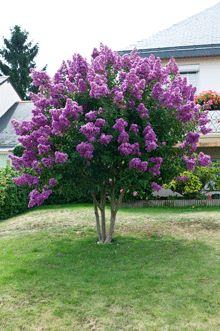 Catawba Crape Myrtle zones 7-9 full-partial sun. This lovely shrub can also be trimmed into a small tree. It will have a mature height of about 10-12 feet. It has a spread of around 8 to 12 feet and will be widest at the crown. Front yard: 1st choice!