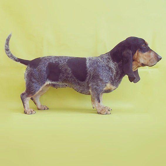 MELROSE d'An Naoned 💛📷💜🐕💙 Femelle Basset bleu de Gascogne née le 30/04/16 (Hebe d'An Naoned x Justin d'An Naoned) Découvrez nos Chiens : http://www.chiotselevagedannaoned.com  #basset #bbg #bassetbleudegascogne #bassetlove #bluebasset #rarebreed #dog #chien #hund #cani #pet #dogshow #hundeschau #hunting #chasse #oxota #jagd #doglove #dogart #dogportrait #cute #melrose