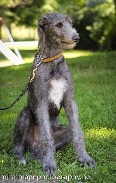 Lebrel escocés (Scottish deerhound) - Es un perro de caza tradicional originario de las Tierras Altas de Escocia que aparece también en los retratos antiguos, durmiendo a los pies de grandes señores. Cuando se puso de moda cazar ciervos con escopeta, esta raza estuvo a punto de desaparecer. [Wikipedia]