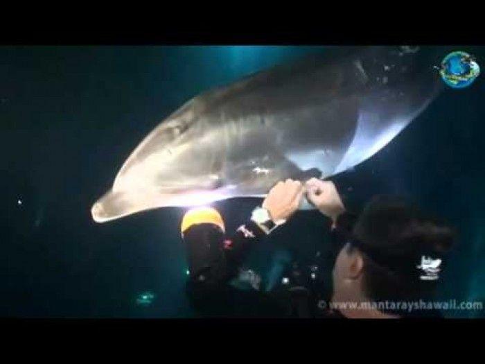 VIDEO. Un dauphin demande de l'aide à des plongeurs   Dolphin asks divers for help   Golfinho pede mergulhadores para ajuda