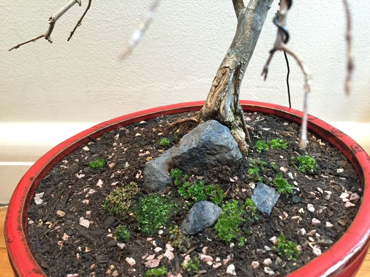 My trident maple. First pruning, wiring and re-potting. 09-06-2016 #bonsai #tree #gardening