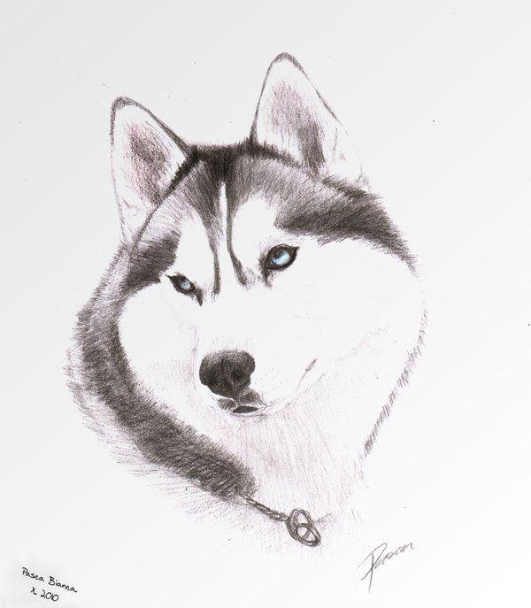 нарисовать рисунок собаки хаски если