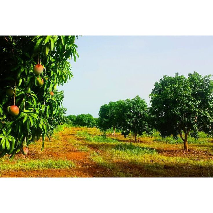 Huuuuuuuge Mango Plantation  with thousands of mango trees in rows & millions of mangos - can't wait for them to be ripe  #mostbeautifulplace  #ghana #VoltaRegion #nature #mango #plantation #crazy #sobig #yummy #foodporn #toogood #sorry #eatall #amazing #world #makefufunotwar #sustainability #blueplanet #420 #enjoylife #chill #volunteerlife #blackisbeautiful #forever #onelove Re-post by Hold With Hope