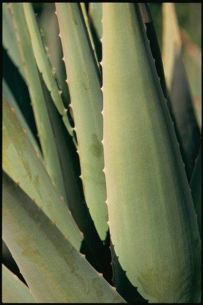 Did you know? #AloeVera contains many compounds including vitamins, minerals, amino acids, enzymes, polysaccharides, and fatty acids.