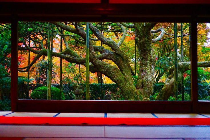 ここの庭園が一番落ち着く。拝観時間終了間際で誰もいなくなり貸切。この構図が好き☺︎ #写真好きな人と繋がりたい #カメラ好きな人と繋がりたい #ファインダー越しの私の世界 #京都 #kyoto #大原 #宝泉院 #五葉松 #額縁庭園 #御朱印 #秋 #紅葉 #instaphoto #instagood #insta #instalove