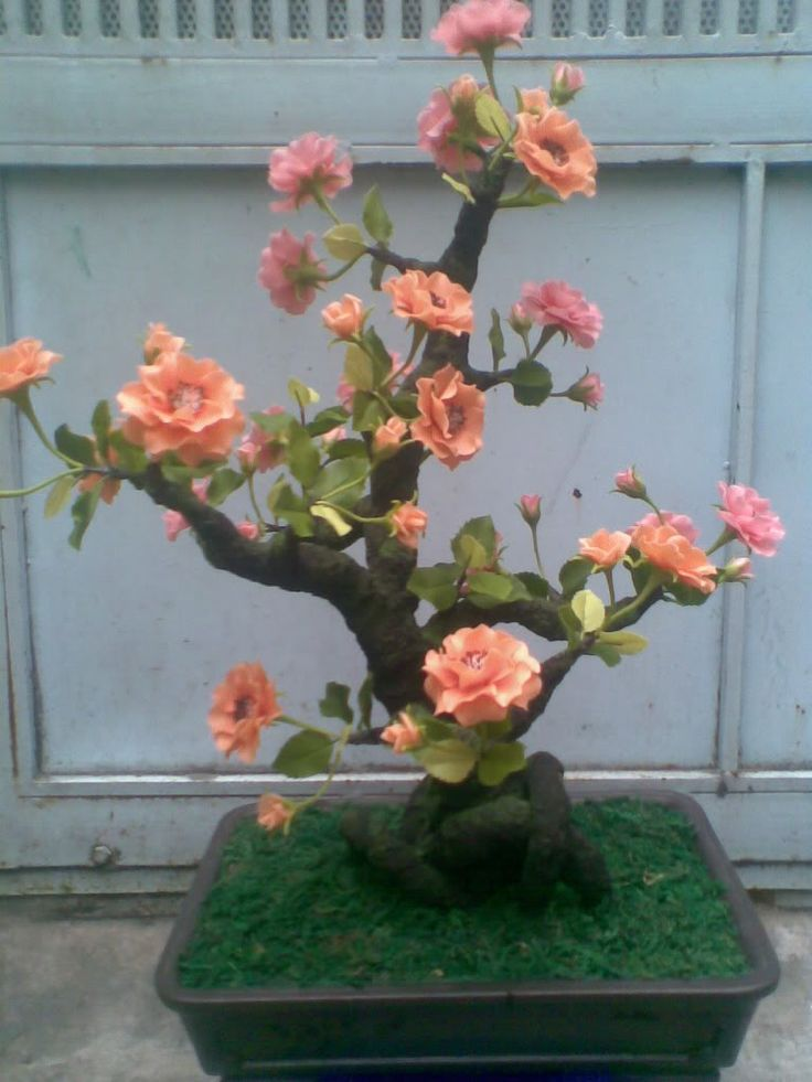 roseira bonsai                                                                                                                                                      Mais