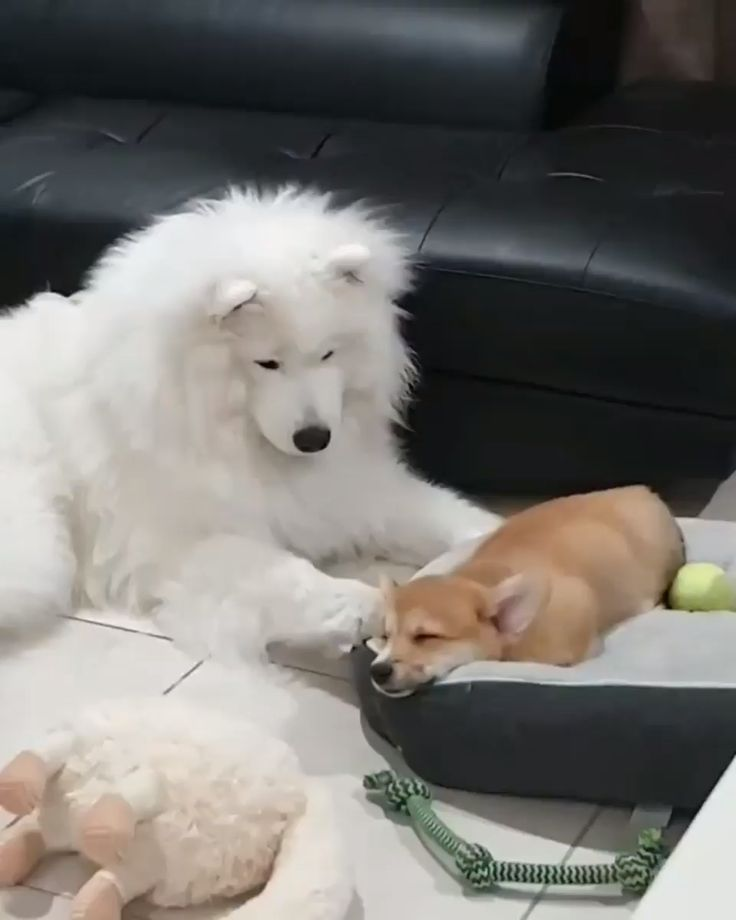 Samoyed wants to play
