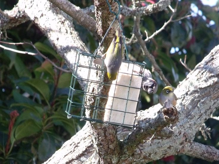 NZ Native Silvereyes (grey/green) and a young male sparrow feasting on a…