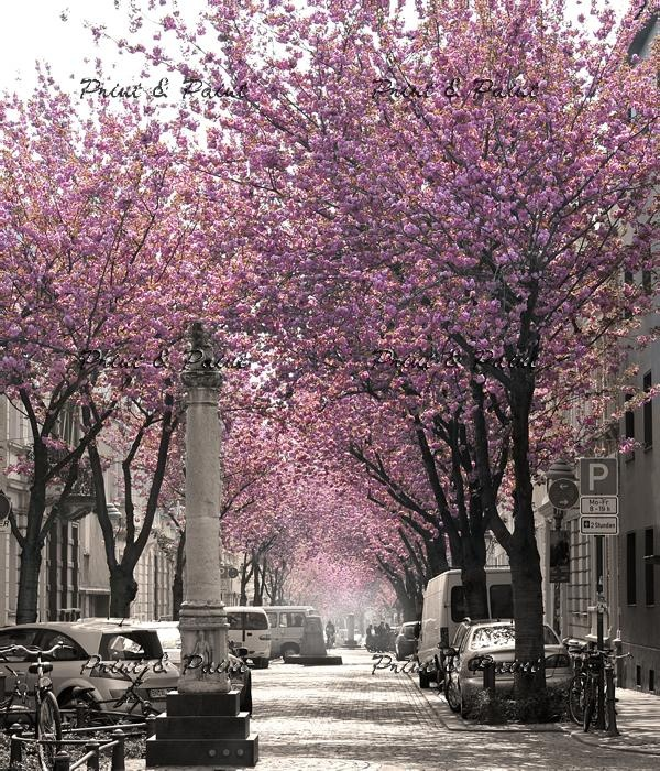 Cherry Blossom in Bonn, Germany. My Home Heerstraße #bonn #kirschbluete #cherryblossom
