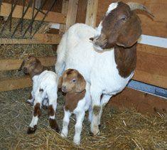 Goat Worming Schedule