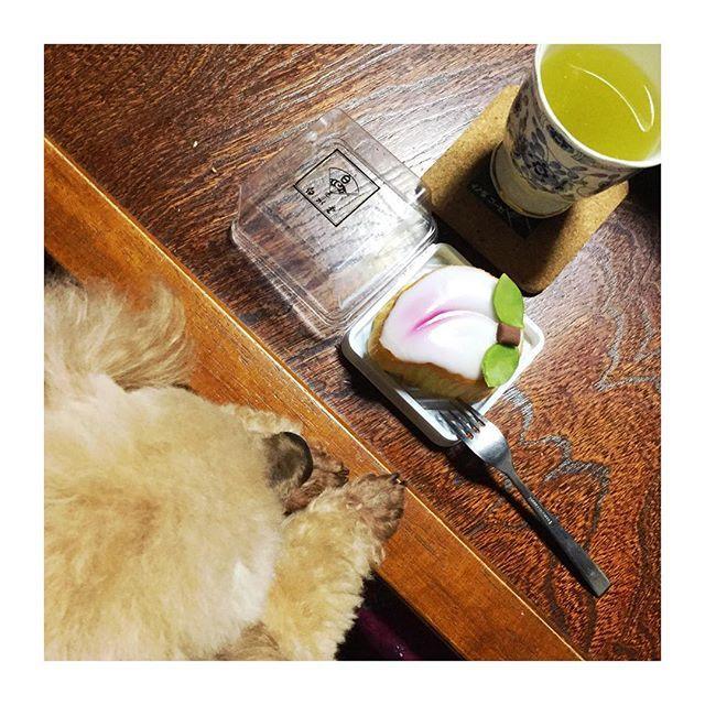 #こたつ #ティータイム 🍵 お花の先生にもらった #白水堂 #桃カステラ #こもも #だそーです #長崎名物 だそーです #どこの何が美味しいとかどこの何が名物とかよくわかんないけど #おいしゅうございました  #おすわりしてももらえない  #😋😋😋 #愛犬 #トイプードル #トイプードルアプリコット #トイプードル部 #犬バカ部 #toypoodle #토이푸들