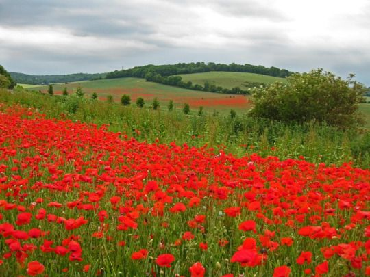 Poppies, Luddesdown, Kent, England by Andrew Whittaker