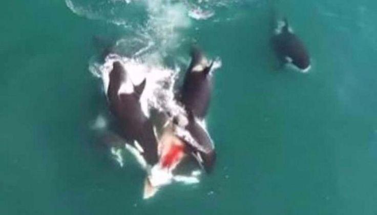 VIDEO: Un drone tomó en las alturas cómo un grupo de orcas asesinas, matan a una ballena: Un grupo persiguió y dio alcance al mamífero…