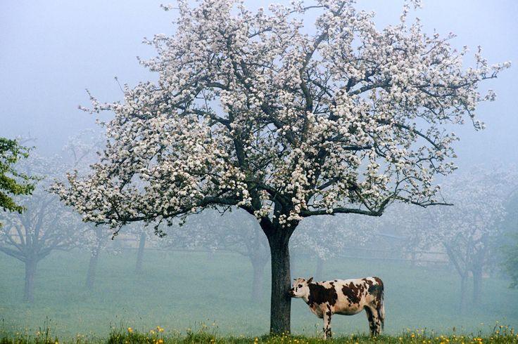 Pommier en fleurs et vache Normande dans une prairie - Normandie - France <3