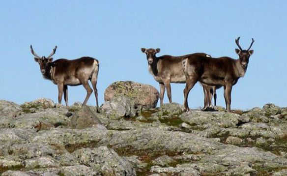 Caribou gather near the Devil's Bite trail on the International Appalachian Trail in Newfoundland and Labrador
