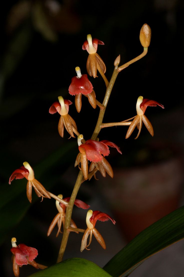 Liparis latifolia - Widespread species found from China, Thailand, Borneo, Java, Peninsular Malaysia, Sumatra and New Guinea.