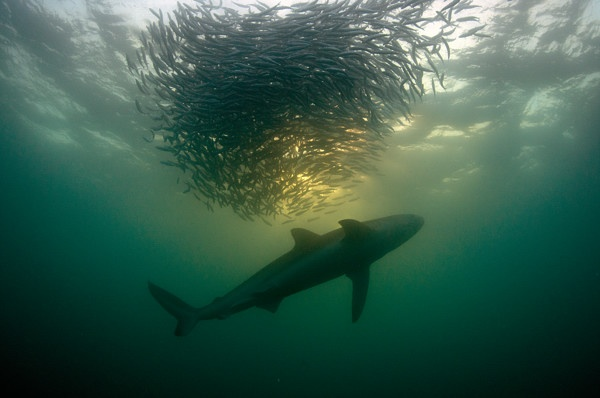 Shark herds a bait ball or Sardines.